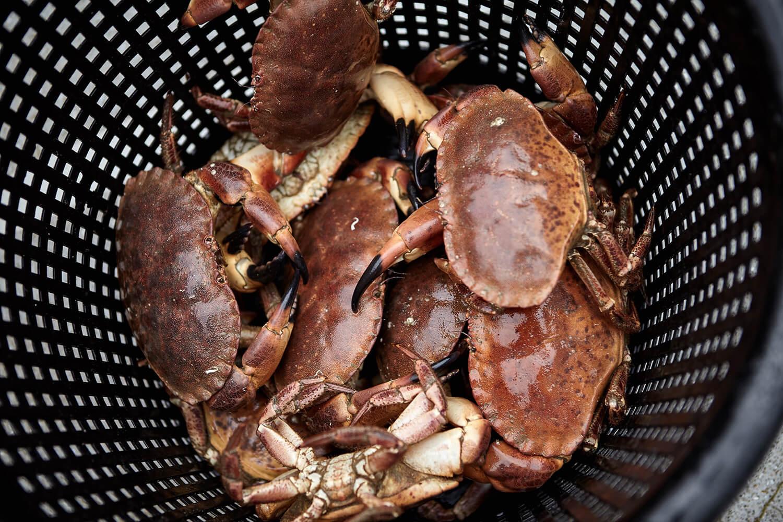 Våra krabbor är verkligt stora