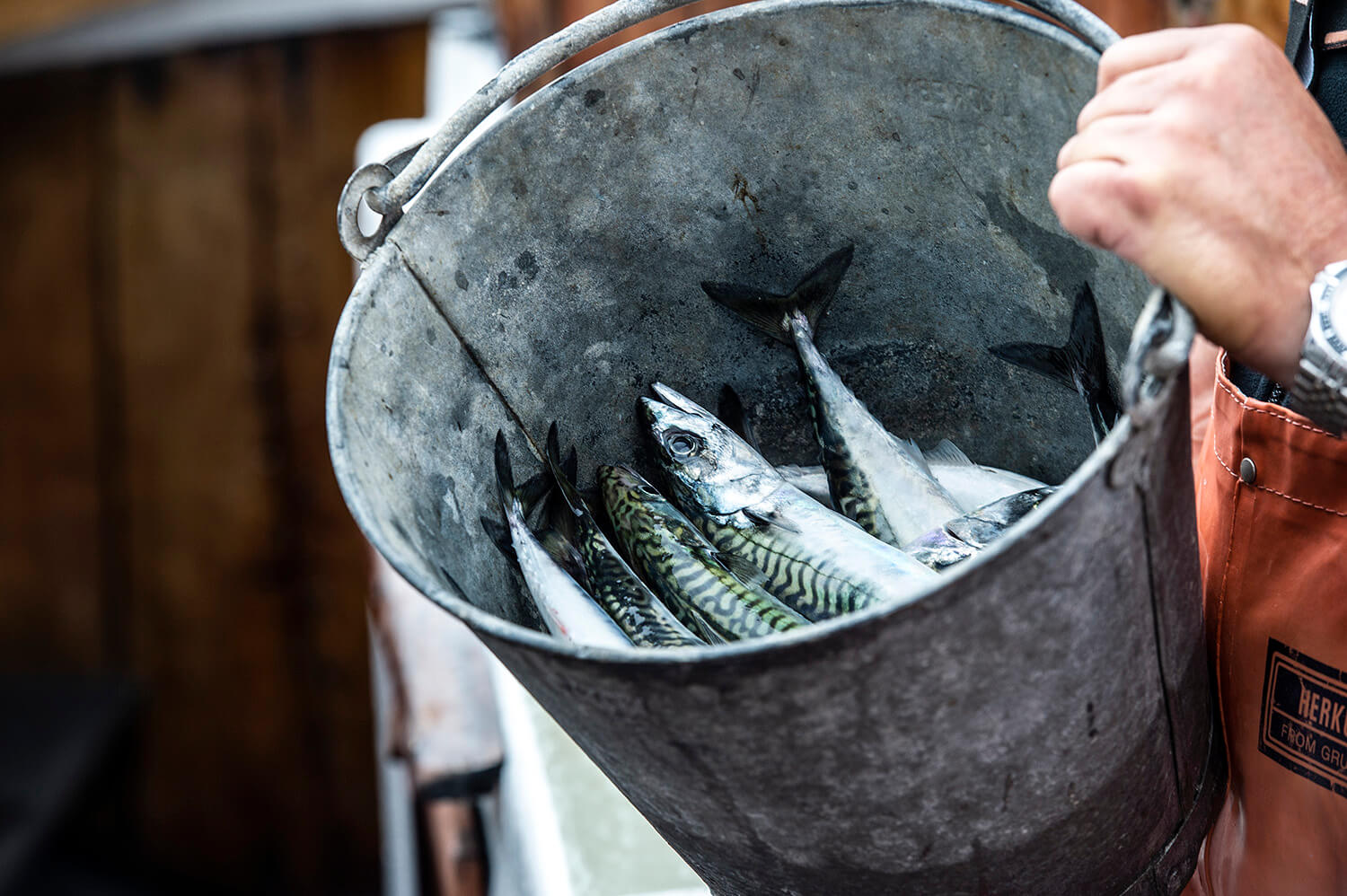 The mackerel is kept ice cold from catch to kitchen